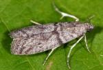 Episcythrastis tabidella 06 1