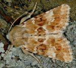 Eremobia ochroleuca (I)