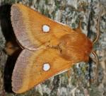 Eriogaster catax (I, L5)