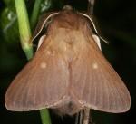 Eriogaster rimicola (I, L5)