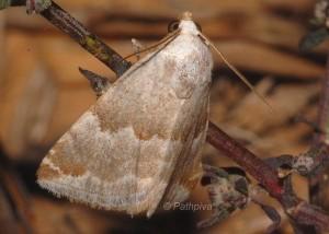 Eublemma amoena 1