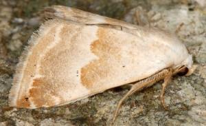 Eublemma amoena 2