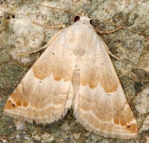 Eublemma amoena 3