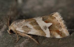 Eublemma elychrysi 1