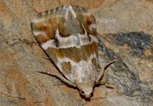 Eublemma elychrysi 2