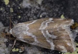 Eublemma elychrysi 4