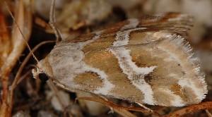 Eublemma elychrysi 5