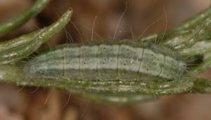 Eublemma elychrysi L5 2