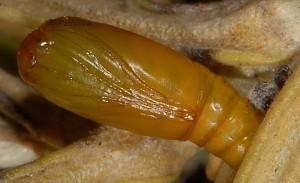 Eublemma elychrysi p 1