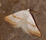 Eublemma pura (I)
