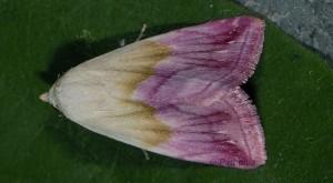 Eublemma purpurina 1