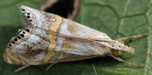 Euchromius anapiellus 34 1