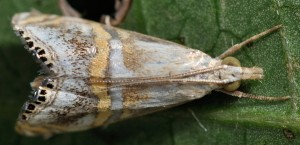 Euchromius anapiellus 34 2