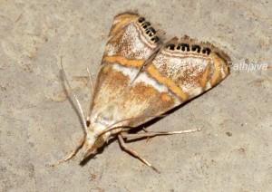 Euchromius anapiellus 34 3
