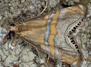 Euchromius bella 06 2