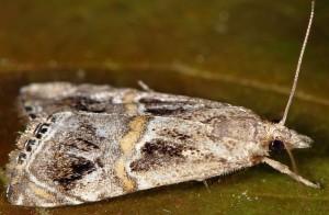 Euchromius cambridgei 13 1