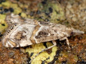 Euchromius cambridgei 2B 1