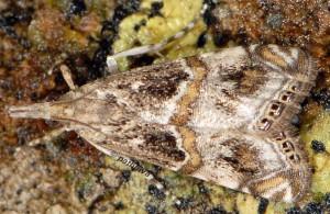 Euchromius cambridgei 2B 3