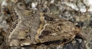 Euchromius cambridgei 83 1