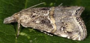 Euchromius cambridgei 83 2
