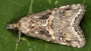 Euchromius cambridgei 83 3