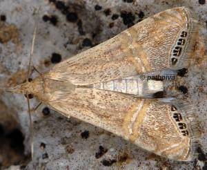 Euchromius ocellea 06 1