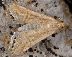Euchromius ocellea 06 2