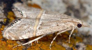 Euchromius-ramburiellus-06-1