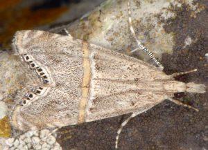 Euchromius-ramburiellus-06-3