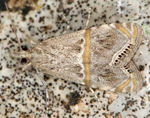 Euchromius-ramburiellus-06-5