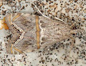 Euchromius ramburiellus