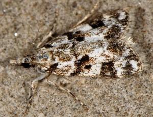 Eudonia delunella 04 2