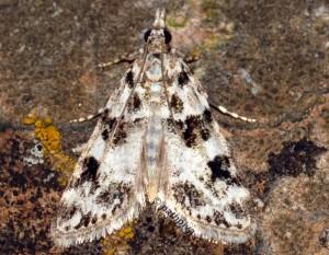 Eudonia delunella 2B 1