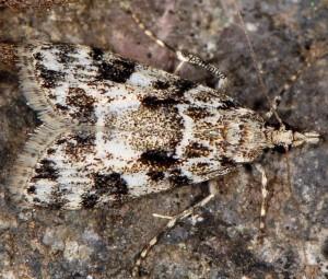 Eudonia delunella 2B 4