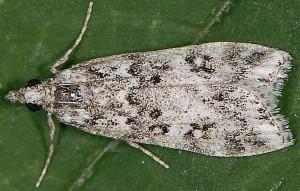 Eudonia lineola 66 1