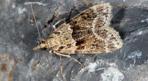 Eudonia mercurella 06 1