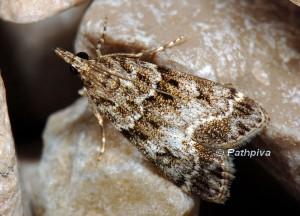 Eudonia mercurella 06 2