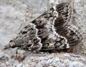Eudonia mercurella 34 1