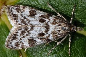 Eudonia petrophila 43 1