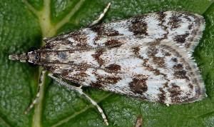 Eudonia petrophila 43 2