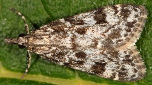 Eudonia petrophila 43 3