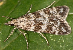 Eudonia petrophila 66 1