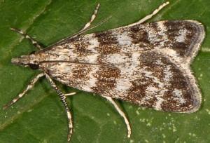 Eudonia petrophila 66 2