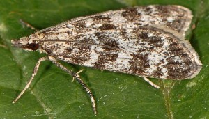Eudonia petrophila 66 3