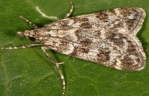 Eudonia petrophila 66 4
