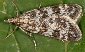 Eudonia petrophila 66 5