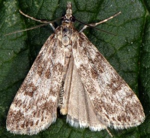 Eudonia petrophila 73 1