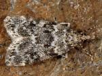 Eudonia phaeoleuca 66 1