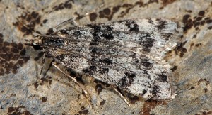 Eudonia senecaensis 06 1