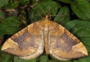 Eulithis populata 06 1